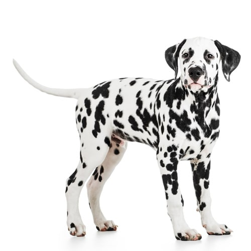 Dalmatian_3