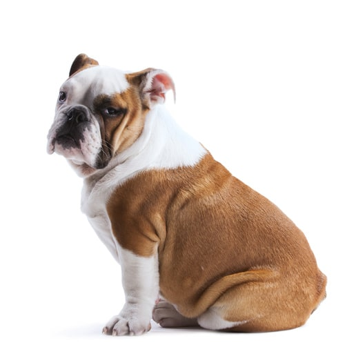 English-Bulldog