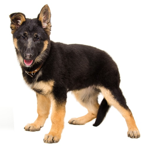 German-Shepherd_1