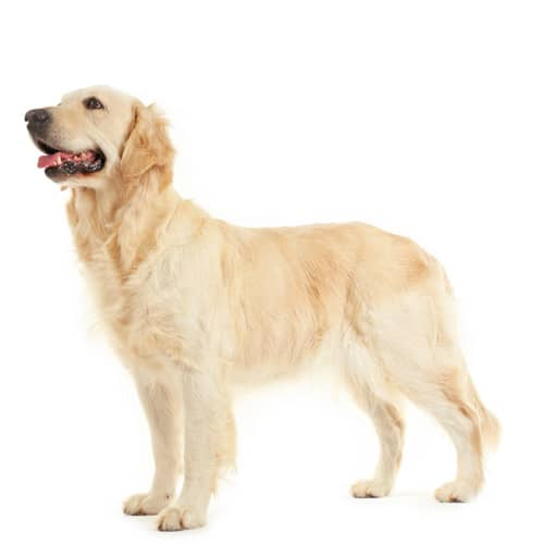 Golden-Retriever_2