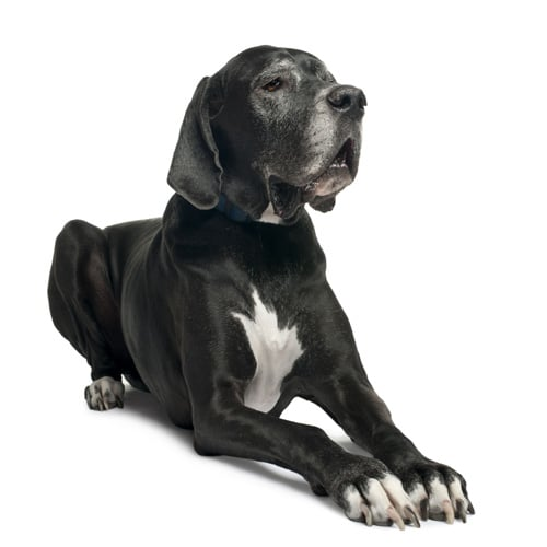 Great-Dane_1