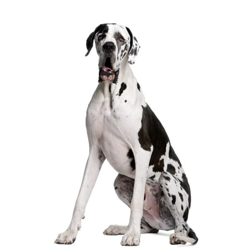 Great-Dane_2