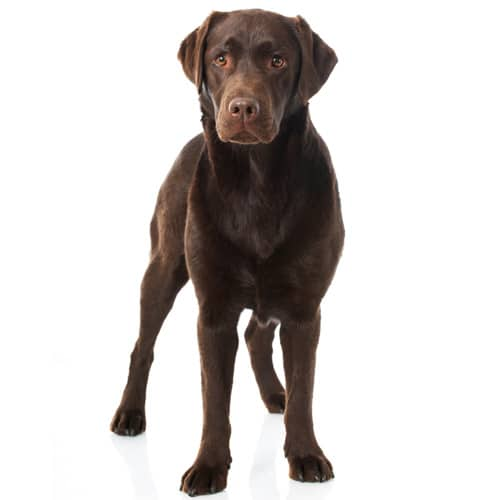 Labrador Retriever _3