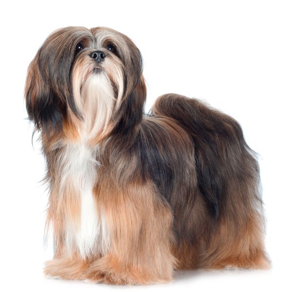 Lhasa Apso toy/parlor dog