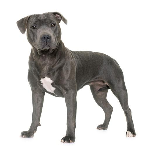 Pitbull | Buy A Dog Nigeria