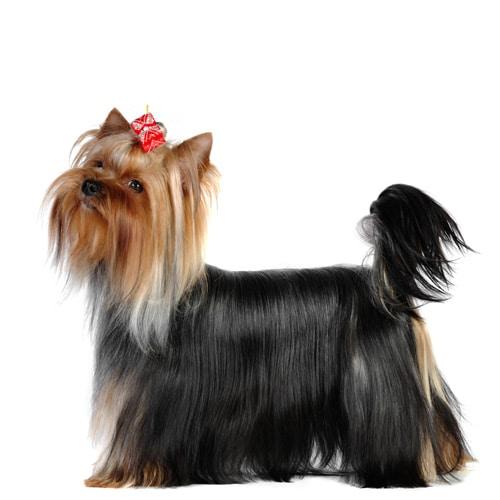 Yorkshire-Terrier_3