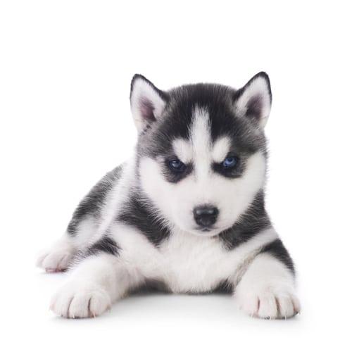 Siberian-Husky_puppy_2