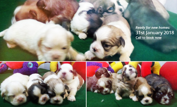 Lhasa-Apso-Puppies-Prime-Litter-Buy-A-Dog-Nigeria