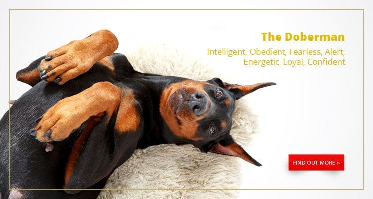 Buy A Dog Nigeria Doberman Homepage Banner