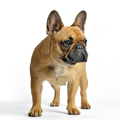 French-Bulldog_1