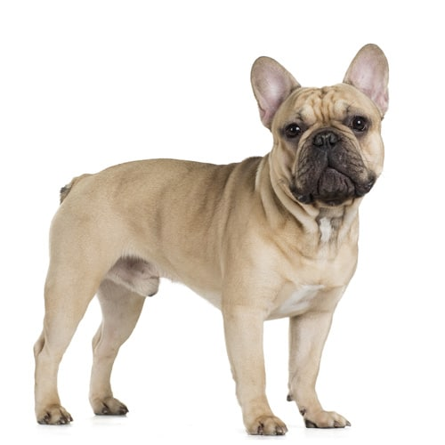 French-Bulldog_3