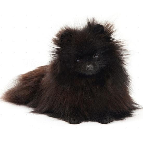Black Toy Pomeranian