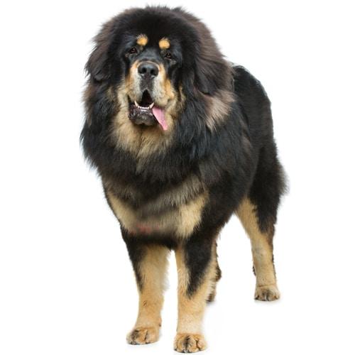 Tibetan-Mastiff_2