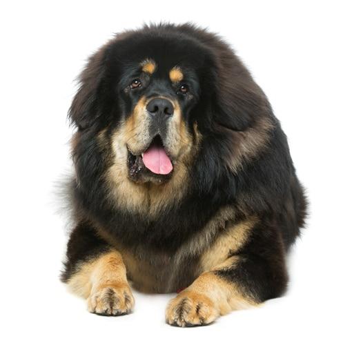 Tibetan-Mastiff_3