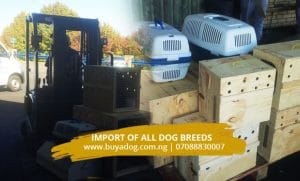Get ready for shipment of dogs to Nigeria from South Africa.