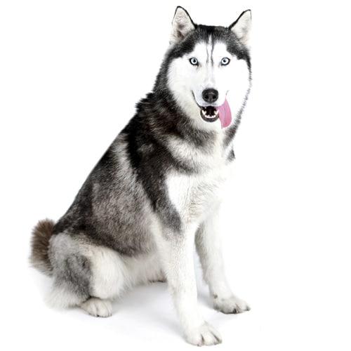 Siberian-Husky_2