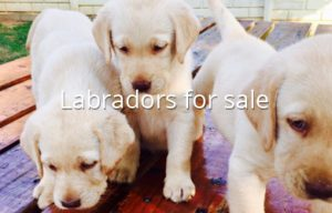 Buy Labrador Retriever puppies