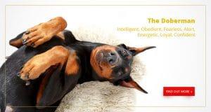 Buy A Dog Nigeria Doberman Homepage Banner