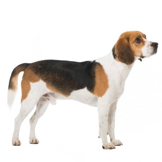 Beagle_2